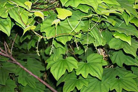 Диоскорея японская