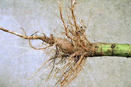Изображение - Помогает заболеваниях суставов koren-podsolnyha67565