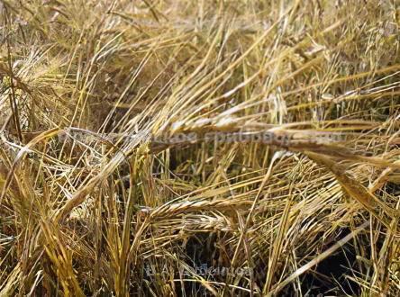 При возниконовении трудностей с поиском пшеничной соломы, альтернативой...
