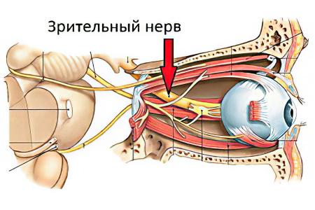 Анатомия глаза и зрительного нерва