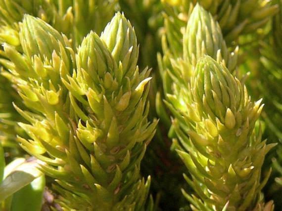 травы от паразитов глистов