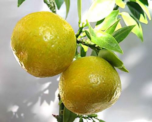 Бергамот – свойства эфирного масла бергамота. Рецепты применения ...