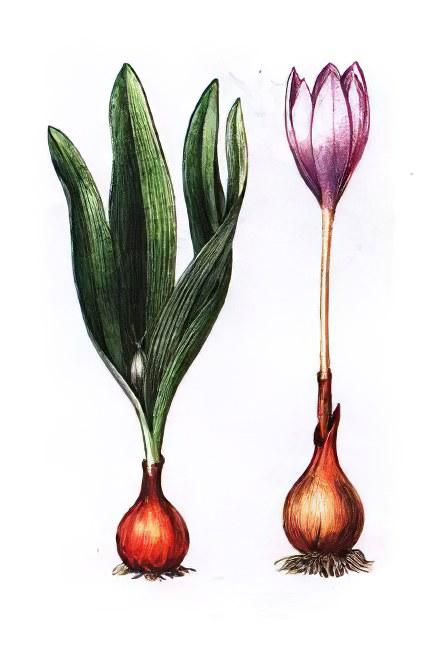 Безвременник (трава) – полезные свойства и применение, цветок безвременника