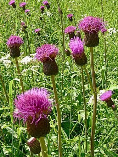 Бодяк (трава) – полезные свойства и применение растения