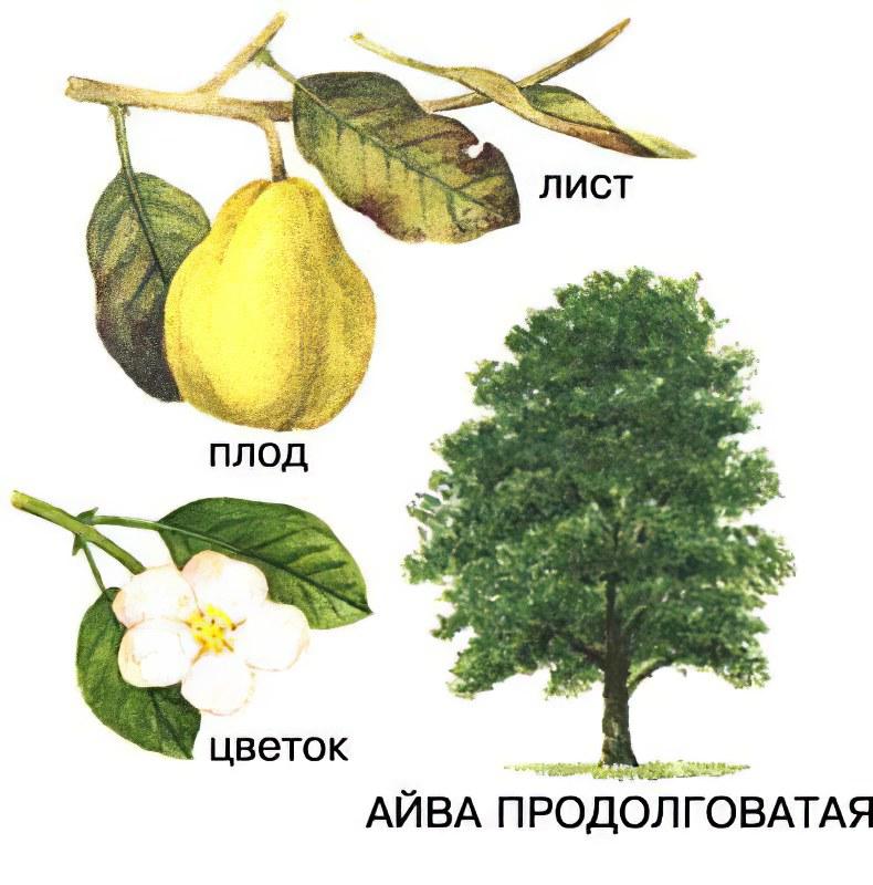 Айва (фрукт) – полезные свойства и применение айвы, рецепты айвы, как приготовить айву, Айва японская, китайская