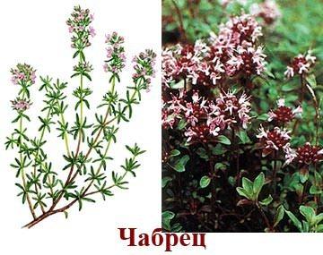 Чабрец (трава) – полезные свойства и применение чабреца, чай с ...