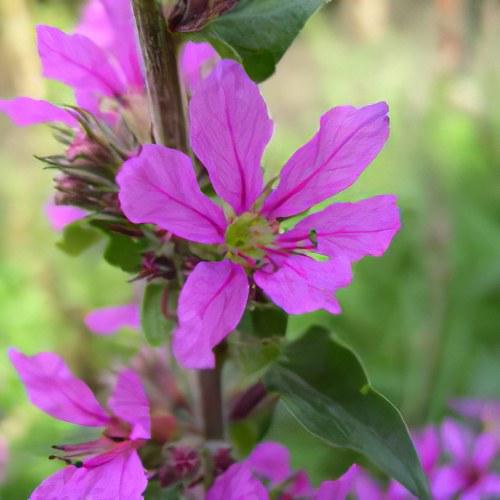 дербенник иволистный цветок