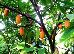дерево какао бобов
