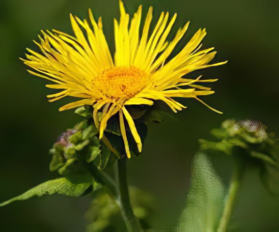 Цветок ддевясила