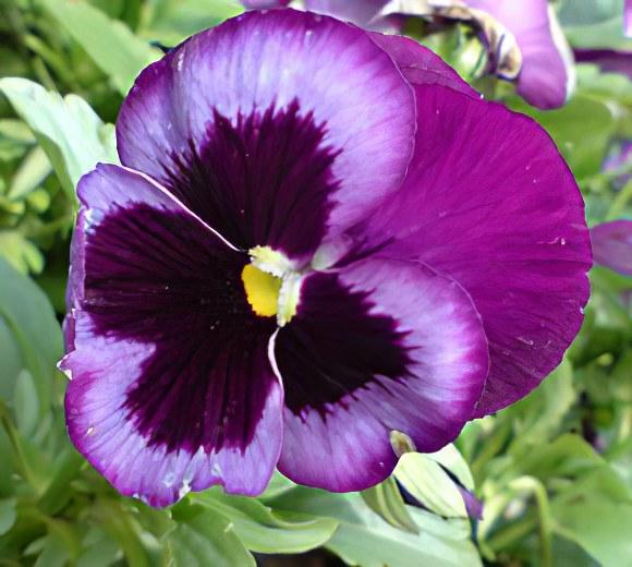 Фиалка – описание, лист и цветы фиалки, сорта фиалки, уход за ...