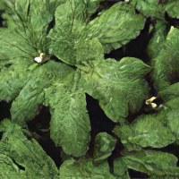 Экстракт листьев гинкго билоба