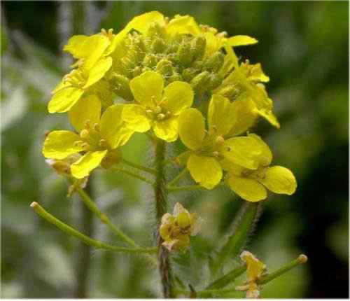 Гулявник (трава) – полезные свойства и применение гулявника лекарственного