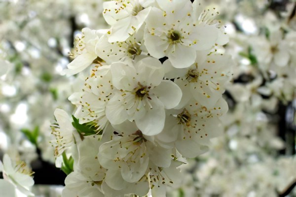 Как цветет алыча