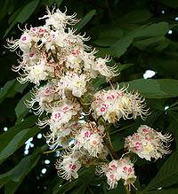 Цветы каштана лечебные свойства