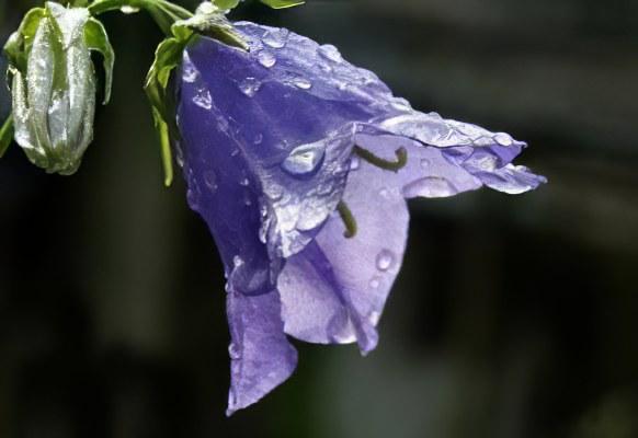 Картинки цветок колокольчик