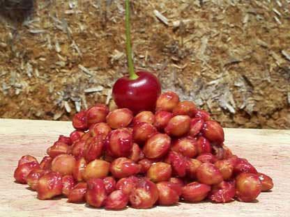 Косточки вишни