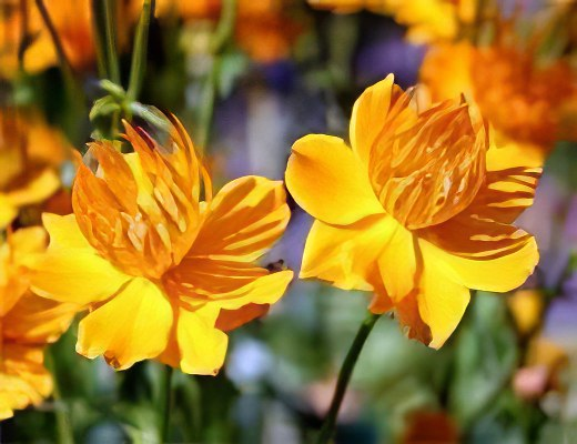 Купальница цветок 5 букв сканворд