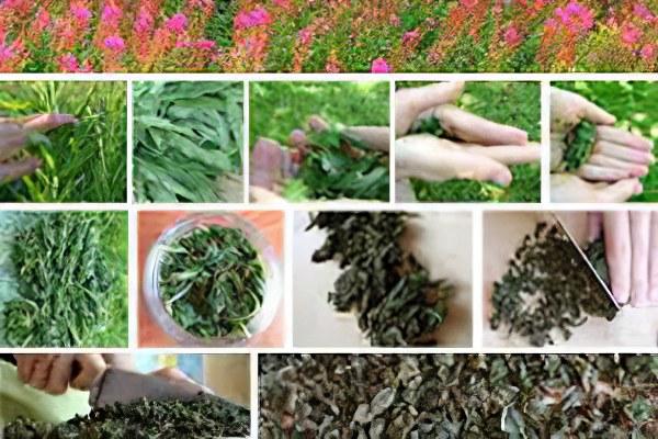 Лечебные свойства иван чая