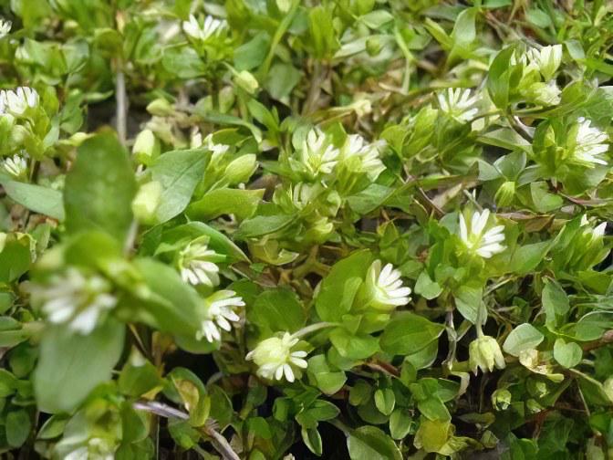 фото растения лакрица