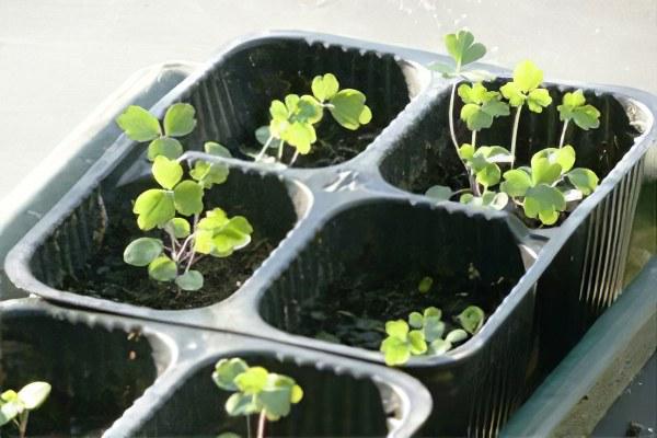 Аквилегия - посадка и уход, выращивание из семян