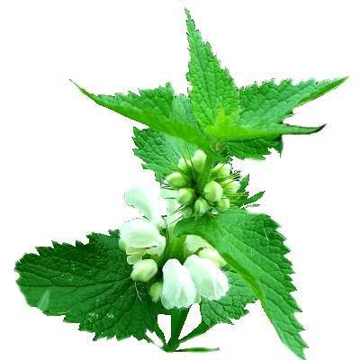 Яснотка белая – полезные свойства, выращивание и применение яснотки белой в народной медицине