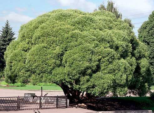 Ива ломкая (ракита), форма шаровидная, S. fragilis f. globosa.