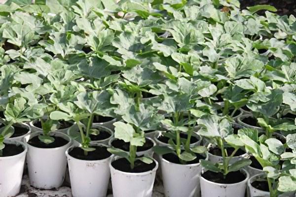Арбуз – польза и вред, как вырастить арбуз в теплице и ...