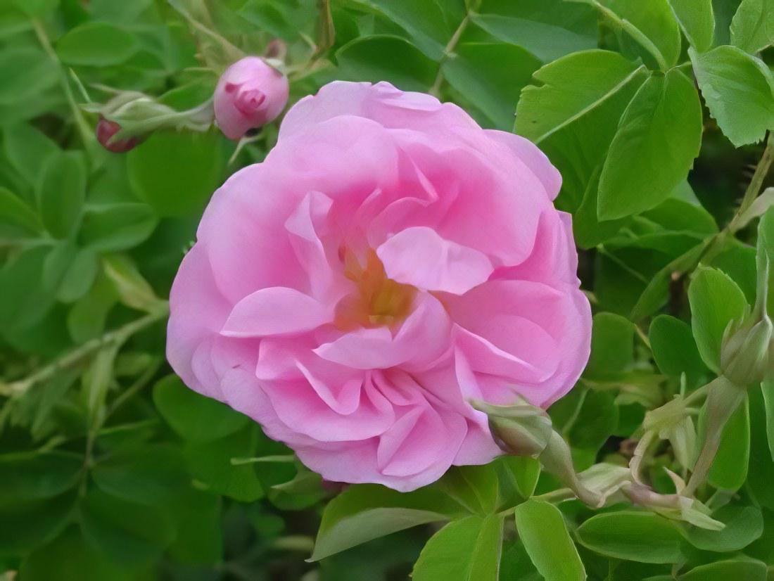 Роза свойства