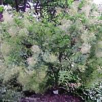 фото красиво-цветущие садовые деревья и кустарники - цветы Скумпия белые, Скумпия...