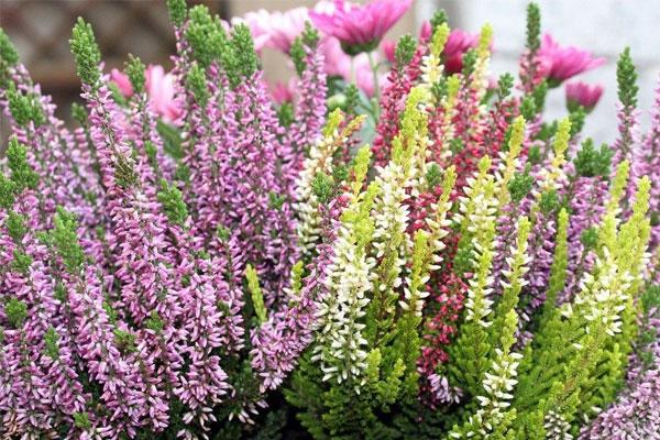 цветы вереска лечебные свойства