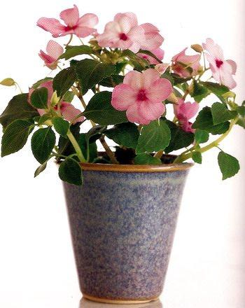 Бальзамин – полезные свойства и применение бальзамина, уход за бальзамином, цветы бальзамина