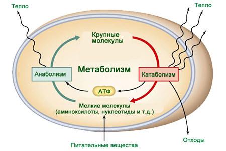 Метаболизм в организме